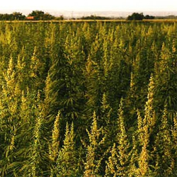 New Laws in Texas for Hemp